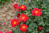 Oso Easy® Urban Legend® - Landscape Rose - Rosa x