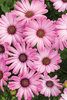 Bright Lights™ Pink - African Daisy - Osteospermum hybrid
