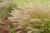 Prairie Winds® 'Desert Plains' - Fountain Grass - Pennisetum alopecuroides