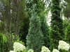 Pinpoint™ Blue - False Cypress - Chamaecyparis lawsoniana