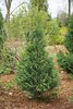 Pinpoint™ Blue & Gold - False Cypress - Chamaecyparis lawsoniana