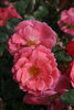 Oso Easy® Pink Cupcake - Landscape Rose - Rosa x