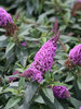 Pugster® Periwinkle - Butterfly Bush - Buddleia x