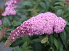 Pugster Pink® - Butterfly Bush - Buddleia x