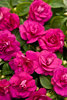 Rockapulco® Purple - Double Impatiens - Impatiens walleriana