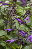 Rockin'™ Deep Purple - Salvia hybrid