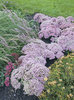 Rock 'N Grow® 'Pure Joy' - Stonecrop - Sedum hybrid