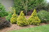 Soft Serve® Gold - False Cypress - Chamaecyparis pisifera