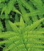 Soft-Shield Fern - Polystichum setiferum