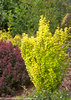 Sunjoy® Gold Pillar - Barberry - Berberis thunbergii