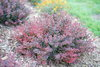 Sunjoy Mini Maroon™ - Barberry - Berberis thunbergii