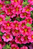 Superbells® Cherry Star - Calibrachoa hybrid