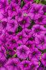 Superbells® Garden Rose - Calibrachoa hybrid