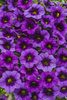 Superbells® Grape Punch™ - Calibrachoa hybrid