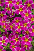 Superbells® Rising Star™ - Calibrachoa hybrid