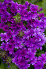 Superbena® Dark Blue - Verbena hybrid