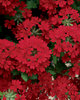 Superbena® Royale Red - Verbena hybrid