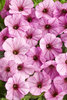Supertunia® Flamingo™ - Petunia hybrid