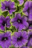 Supertunia® Picasso in Blue® - Petunia hybrid