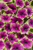 Supertunia® Picasso in Purple™ - Petunia hybrid