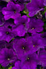 Supertunia® Royal Velvet™ - Petunia hybrid