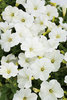Supertunia® Trailing (Formerly Mini) White - Petunia hybrid
