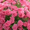 Surfinia® Summer Double™ Salmon - Petunia hybrid