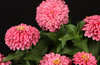 Sweet Tooth Bubblegum - Zinnia