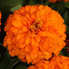 Sweet Tooth Orange Slice - Zinnia
