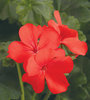 Timeless™ Orange - Geranium - Pelargonium