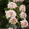 Tiny Wine® - Ninebark - Physocarpus opulifolius