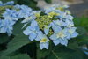 Tuff Stuff Ah-Ha™ - Reblooming Mountain Hydrangea - Hydrangea serrata