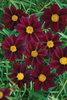 Big Bang™ Mercury Rising - Tickseed - Coreopsis hybrid