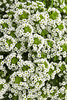White Knight® - Sweet Alyssum - Lobularia hybrid
