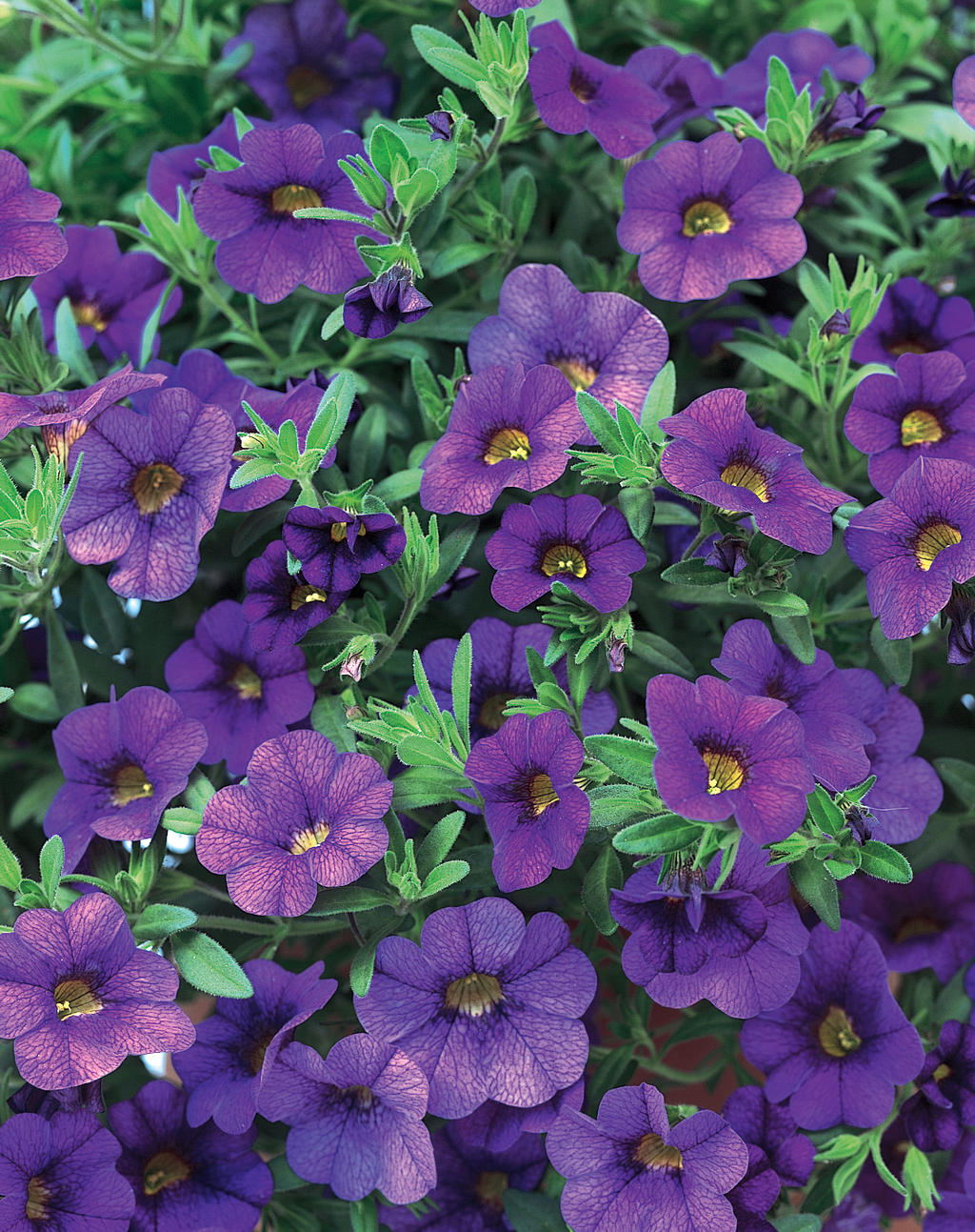 Superbells blue calibrachoa hybrid images proven winners - Calibrachoa superbells ...