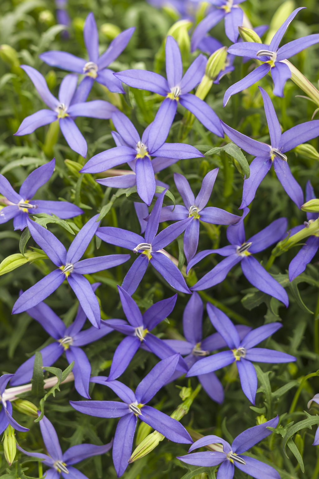 Beth s Blue Star Flower Isotoma axillaris