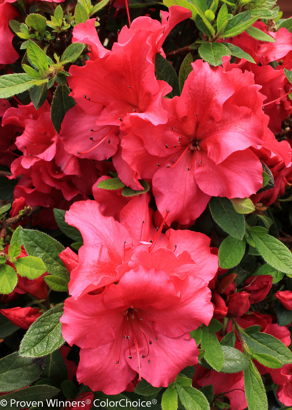 Bloom a thon red reblooming azalea rhododendron x for The azalea