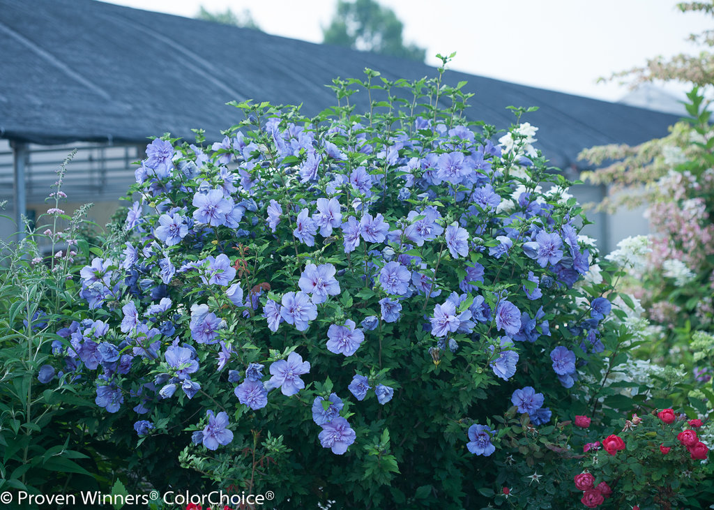 Blue Chiffon 174 Rose Of Sharon Hibiscus Syriacus