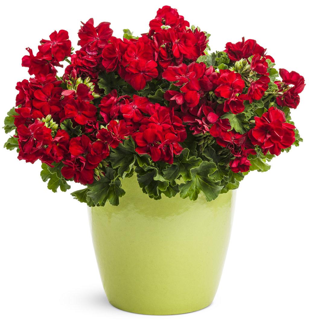 Boldly® Dark Red - Geranium - Pelargonium interspecific ...