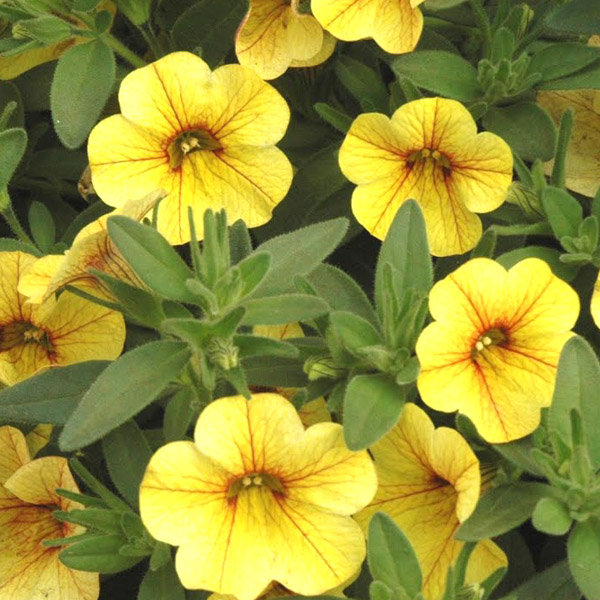 million bells tropical delight calibrachoa hybrid proven winners. Black Bedroom Furniture Sets. Home Design Ideas