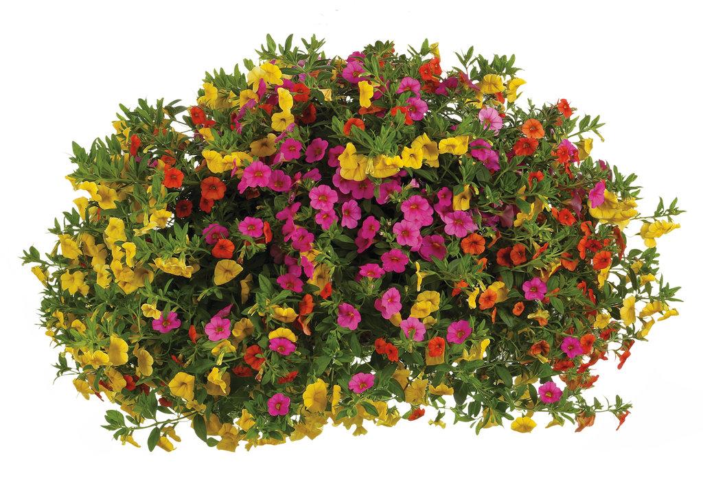 Superbells 174 Yellow Calibrachoa Hybrid Proven Winners