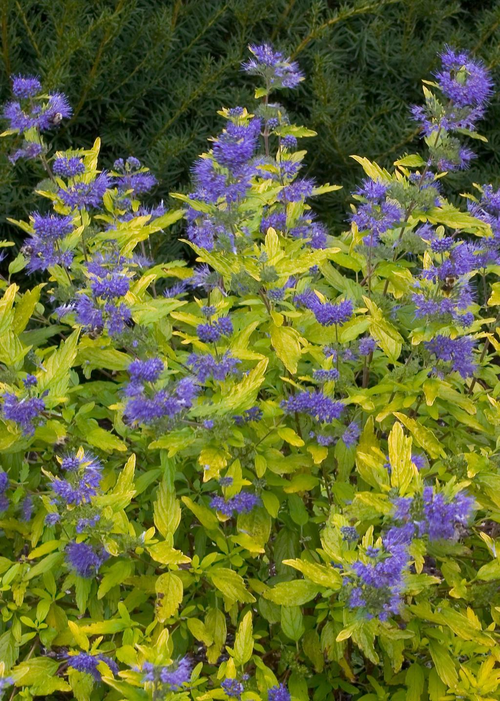 Shrubs to plant in fall - Caryopterislilmisssunshine Jpg