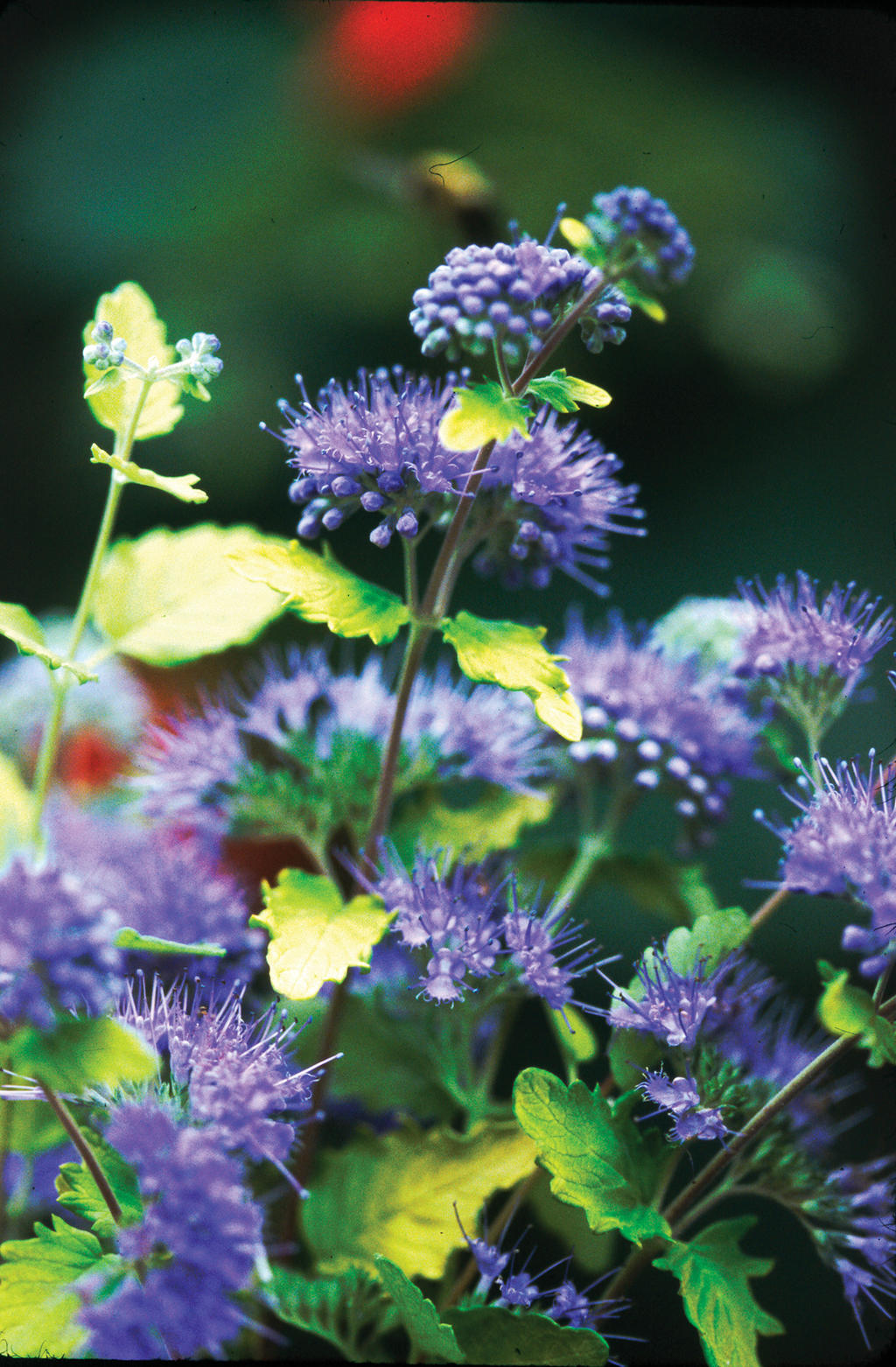 Sunshine Blue 174 Bluebeard Caryopteris Incana Proven