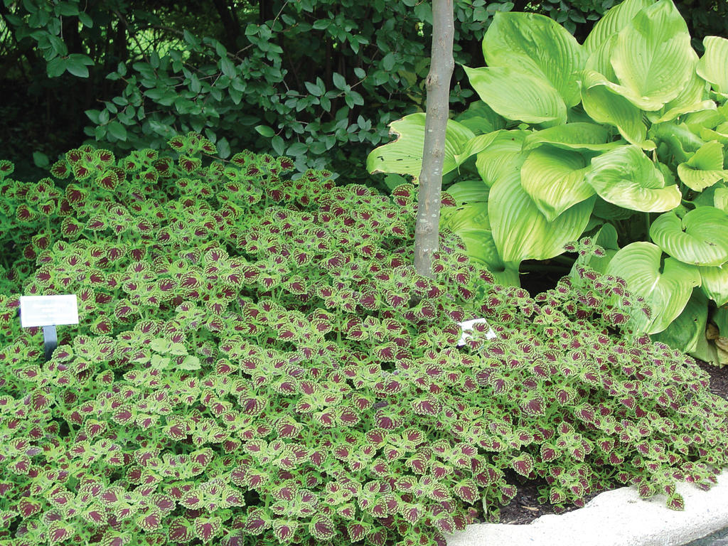 Chocolate Drop - Coleus - Solenostemon scutellarioides | Proven ...