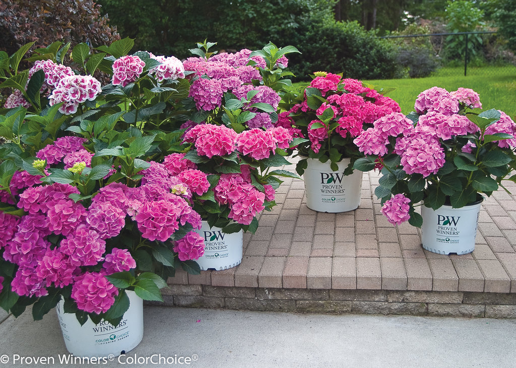cityline® paris  bigleaf hydrangea  hydrangea macrophylla, Beautiful flower