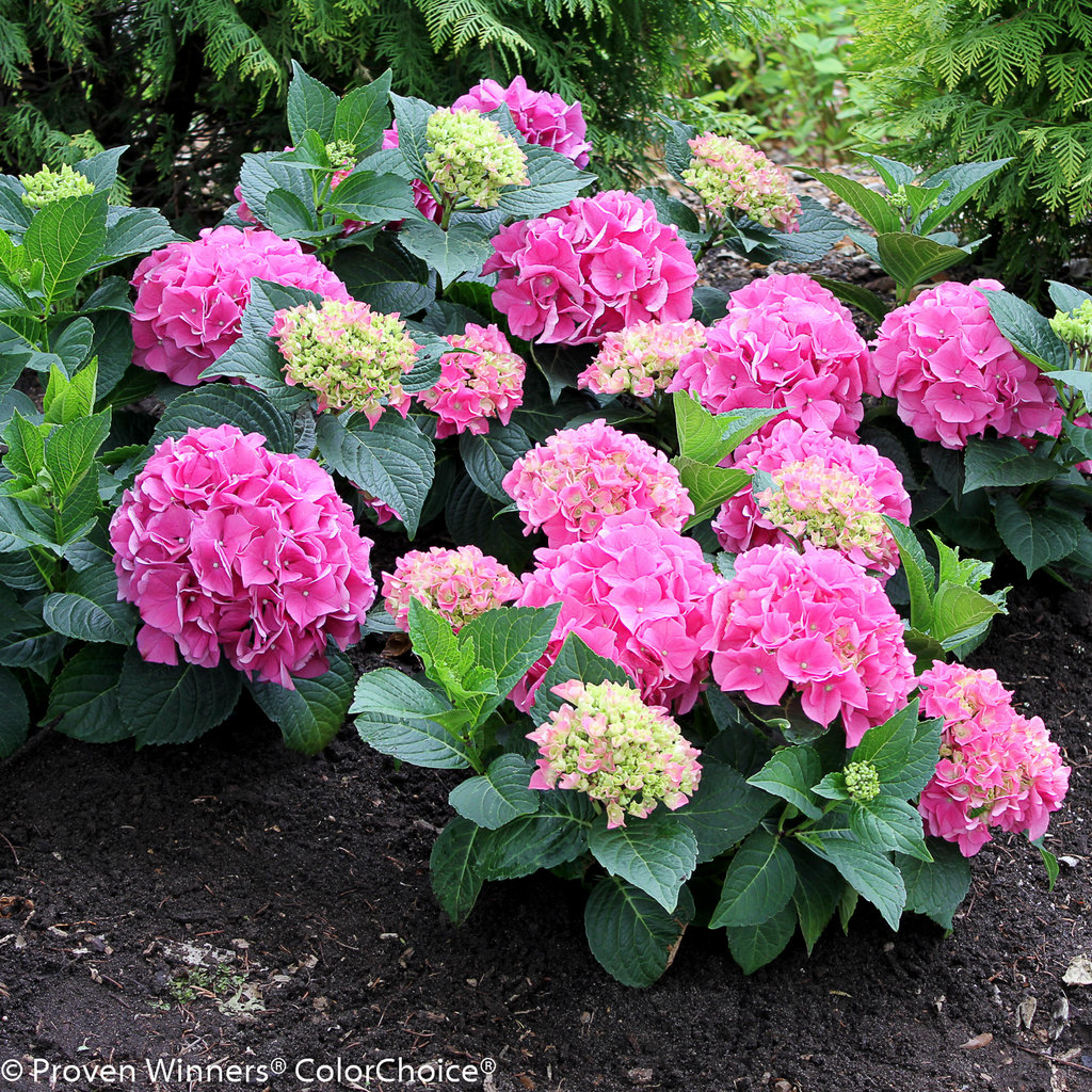 cityline vienna bigleaf hydrangea hydrangea macrophylla proven winners. Black Bedroom Furniture Sets. Home Design Ideas