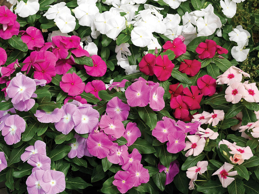 Cora mix vinca catharanthus roseus proven winners coramixtg01g izmirmasajfo Gallery