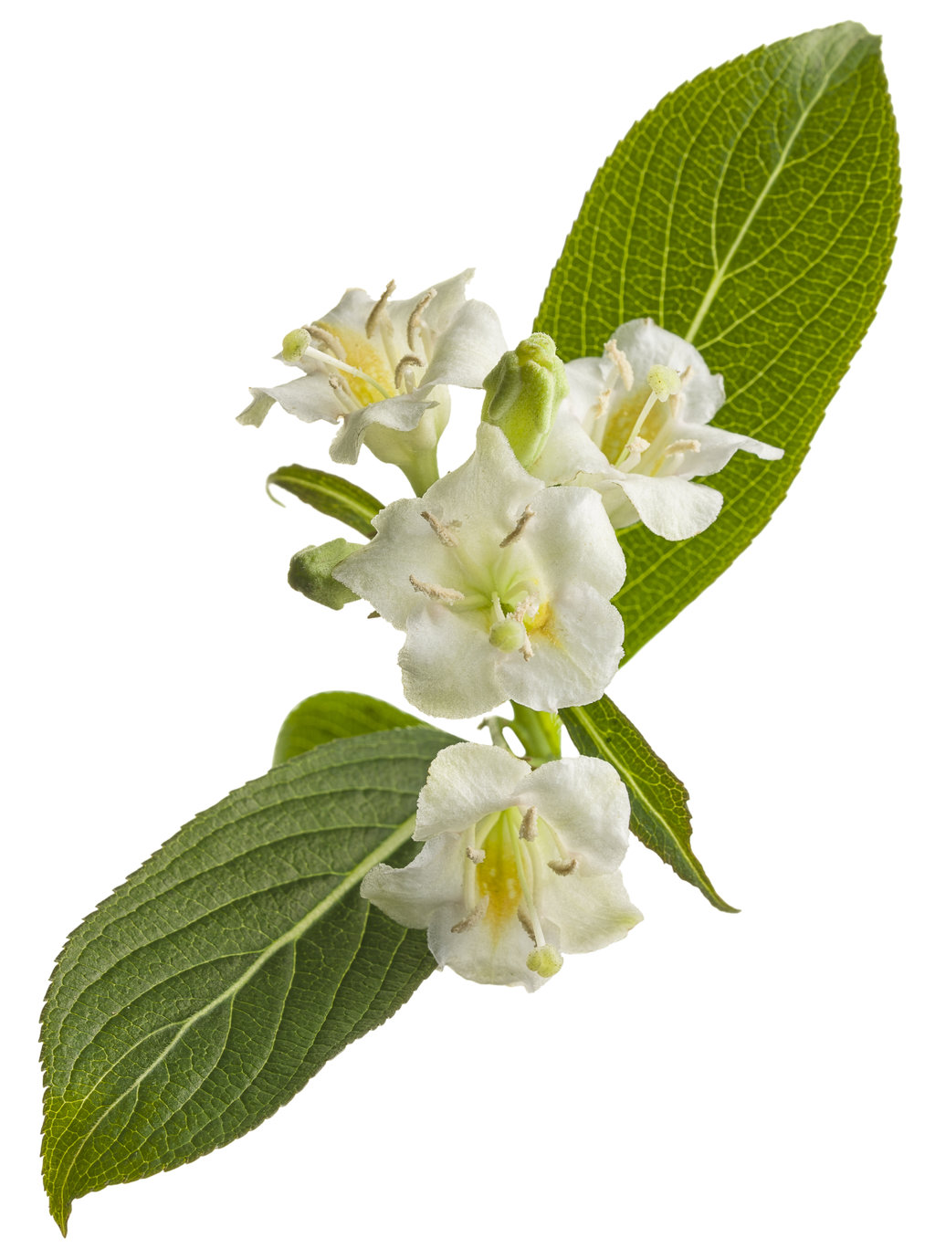 Your browser does not support the audio player.                                                      Czechmark Sunny Side Up® Weigela florida