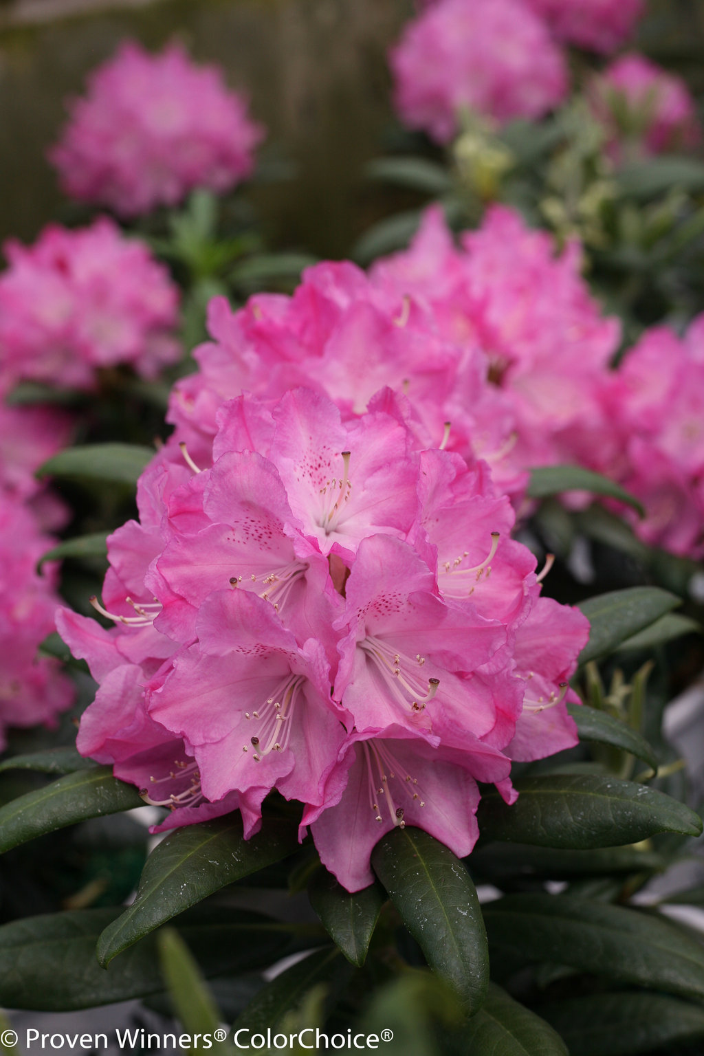Dandy Man 174 Pink Rhododendron X Proven Winners