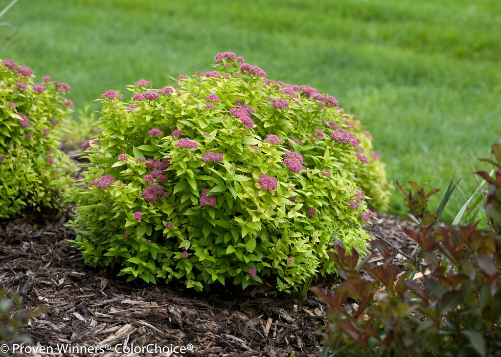 Double Play 174 Gold Spirea Spiraea Japonica Proven Winners